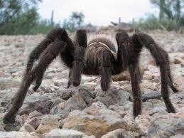 creature feature the desert tarantula looks big hairy and scary