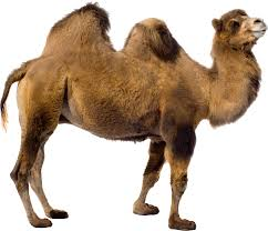 image of a camel wallpaper download cucumberpress com