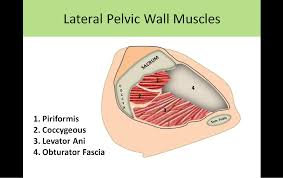 Muscles Of The Pelvic Floor Ppt by Pelvic Sonography