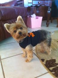 yorkshire terrier energetic and affectionate yorkshire yorkie