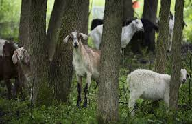 Get Your Goat Rentals by Minnetonka Is The Latest City To Enlist Goats To Clear Invasive