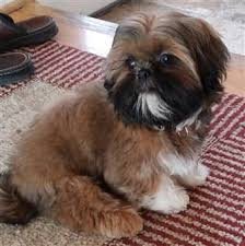 pictures of shih tzu haircuts shih tzu grooming tools items needed for proper groom