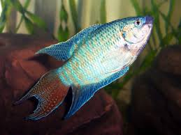beautiful ornamental fish paradise gouramis ornamental fish