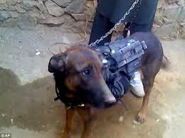 belgian shepherd vs pitbull fight k9 units that storm buildings with special forces and protect