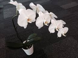 orchid flower white orchid flower pyr908 orchid hub