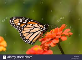 monarch butterfly with wings folded on flower stock photo