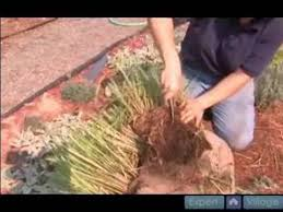 how to propagate ornamental grasses pt 3 how to divide