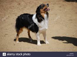 australian shepherd tri daphne is an akc registered purebred australian shepherd puppy 8