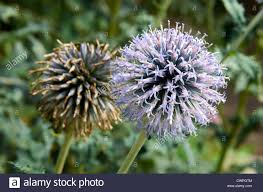 flower and seed of an ornamental globe thistle or