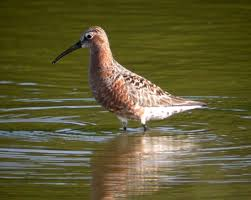 Indiana birds images Indiana quot review list quot species photo records of rare and jpg