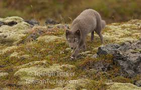 arctic fox trileigh tucker