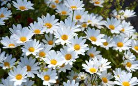 daisy wallpaper high quality pixelstalk net
