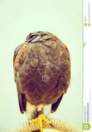 sleeping eagle stock photo image 57650238
