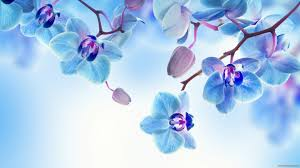 blue orchid flower blue orchid flower wallpaper