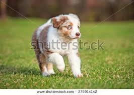 running with australian shepherd puppy funny english bulldog puppies running stock photo 210981004