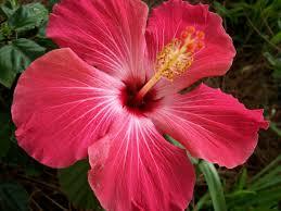 06 21 15 hibiscus flowers flowers image galleries