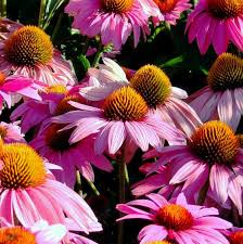 echinacea flower echinacea purpurea feeling pink specialty perennials flower seeds