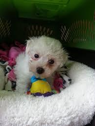 bichon frise intelligence maltichon puppies for sale red door kennel