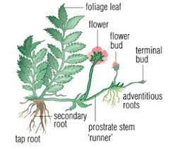 Vegetative Propagation By Roots - more about cellular division a level notes