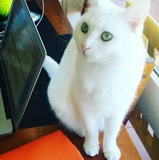 guest blog from the cat facts about white cats u2013 my meow u2013 life