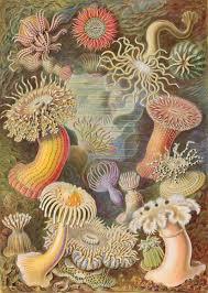sea anemone wikipedia