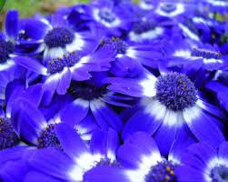 descargar imagenes lindas variadas las mas variadas imagenes de flores azules para descargar imagenes