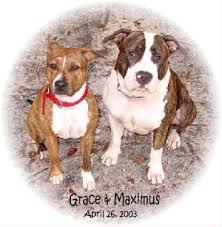 american pitbull terrier vs amstaff owning an amstaff
