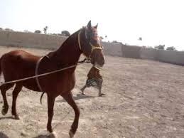 for sale in pakistan horses sale in pakistan kakka for sale 0323 6548123