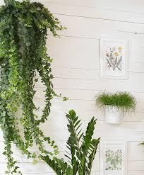 Buy House Plants Buy House Plants Now Ivy U0027pittsburgh U0027 Bakker Com
