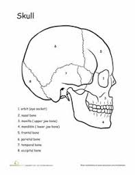 Basic Anatomy Of The Ear How The Ears Work Awesome Anatomy Worksheets Anatomy And