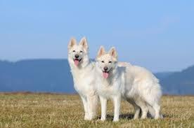 wszystko o bichon frise psy pies wszystko o psach