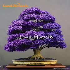 real japanese purple ghost maple tree bonsai seeds 10 seeds pack