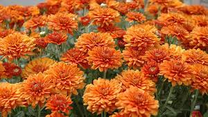 most popular blooms for garden chrysanthemums know rich history