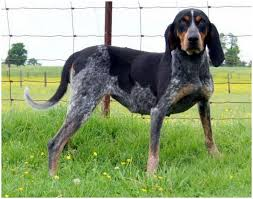 names for a bluetick coonhound bluetick coonhound puppies facts diet pictures behaviour
