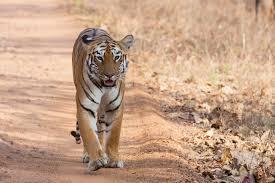 file panthera tigris tigris tidoba 20150306 jpg wikipedia
