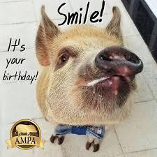 ampa mini pig birthday cards american mini pig online store