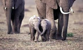 elephant families stick together guardian liberty voice