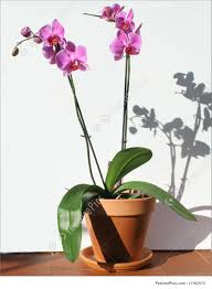 Orchid Plant Picture Of Orchid Home Plant
