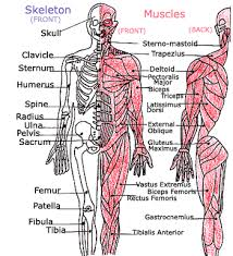 Anatomy Of The Human Body Bones We Made Up Rhymes To Help Me Memorize All The Bones And Muscles In
