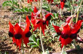 australia native plants sturt u0027s desert pea australian native plants nsw national parks