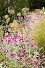 Summer Flower Garden Ideas - 10 best garden lychnis coronaria rose campion images on pinterest