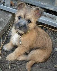 brindle cairn haircut cairn terrier dog breed information and images k9rl animals