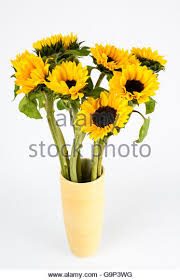 Vase Of Sunflowers Sunflowers Sunflower Vase Cut Stock Photos U0026 Sunflowers Sunflower