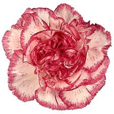 carnations in bulk wholesale carnations carnations in bulk wholesaleflowers net