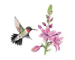 Hummingbird Flowers Drawn Hummingbird Hummingbird Flower Pencil And In Color Drawn