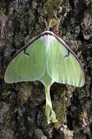 missouri native plant society missouri department of conservation critter of the week luna moth
