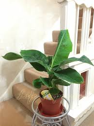 tropical musa zebrina rojo blood banana plant evergreen indoor
