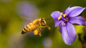 bees can see much better than thought scientists sci tech