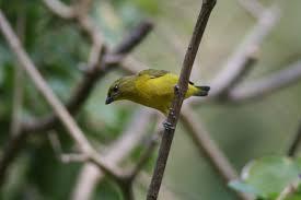 Canopy Birds by Photobirder Adventure In Panama March 2008