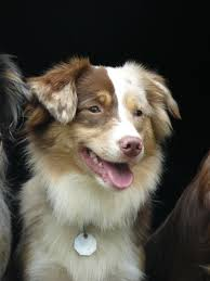 australian shepherd new hampshire kicks and giggles mini aussies quailty breeder of miniature and
